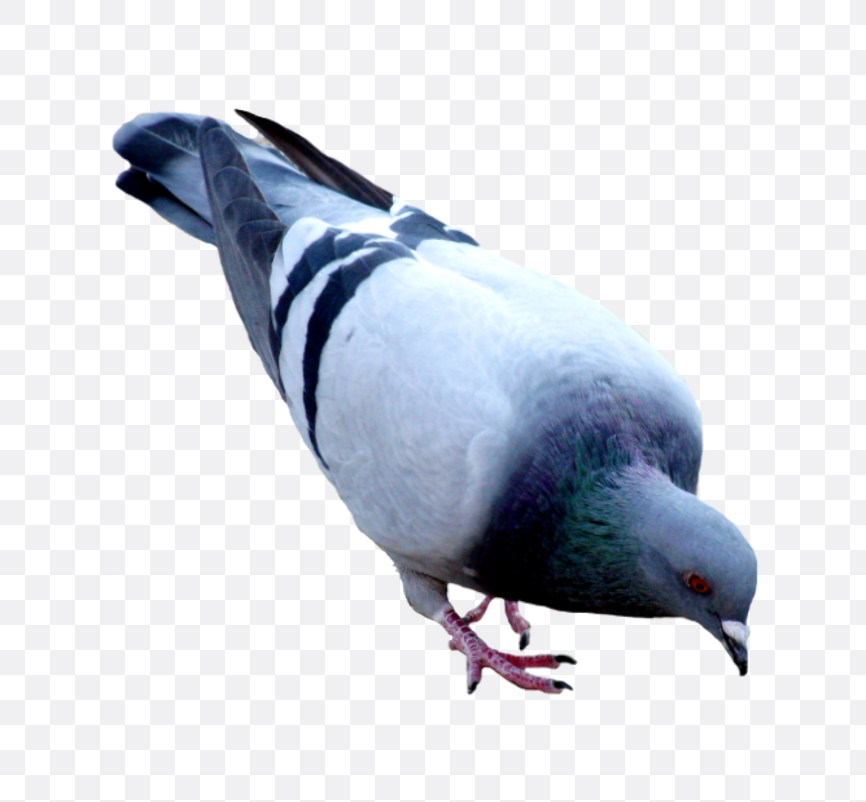 pigeon images
